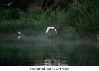 Great Egret flying over water with soft background of lake, reeds and sky on a warm summer sunset in the wetland In Thailand Egret live by wetland hunting feed on fish (apply selective focus and mood)