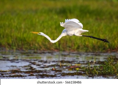 Great egret flying over the wetland, Yellow Water, Kakadu National Park, Australia