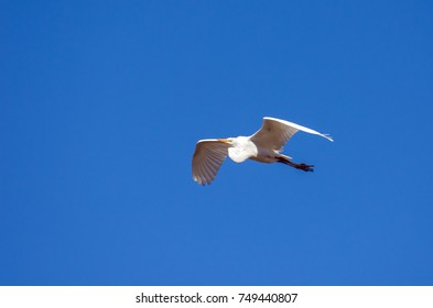 Great Egret flying overhead