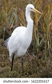 Great Egret foraging in marshlands. Baylands Nature Preserve, Santa Clara County, California, USA.