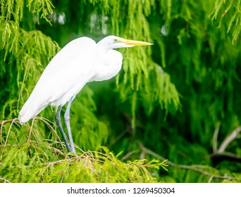 Great Egret and Green background. Ardea alba, also known as the common egret, large egret or (in the Old World) great white egret or great white heron.