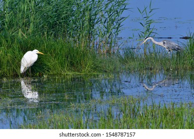 Great egret and Grey heron in a lake in upper lusatia,