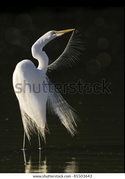 Great Egret grooming in the morning. Latin name - Ardea alba.