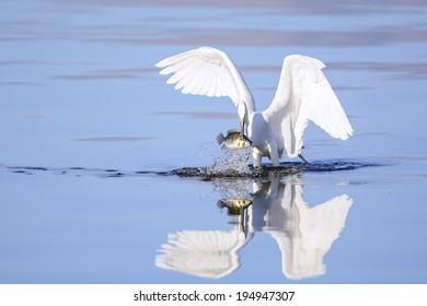 A great egret has just caught a big fish.
