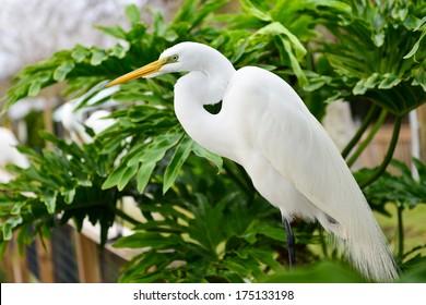 Great Egret (Heron)