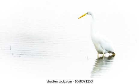 Great egret in high key