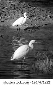 Great Egret and intermediate egret at Buhair lake, Bahrain