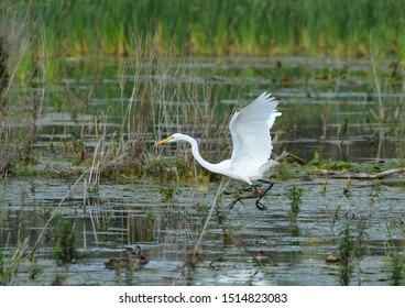 Great Egret jumping in a marsh
