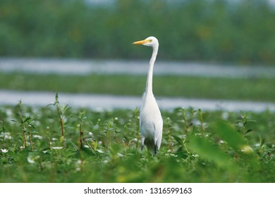 The great egret, also known as the common egret, large egret or great white egret or great white heron is a large.
