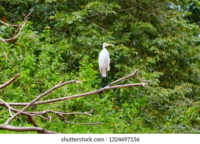 The great egret, also known as the common egret, large egret, or great white egret or great white. Costa Rica, Central America