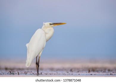 The great egret , also known as the common egret, large egret, or great white egret or great white heron. Scientific name: Ardea alba. Natural Habitat.  Cuba.
