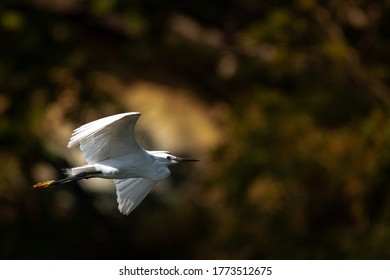 The great egret, also known as the common egret, large egret, or great white egret