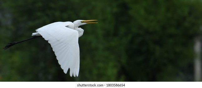 The great egret, also known as the common egret, large egret, or (in the Old World) great white egret or great white heron. it builds tree nests in colonies close to water.