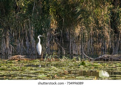 The great egret, also known as the common egret, large egret or great white egret or great white heron