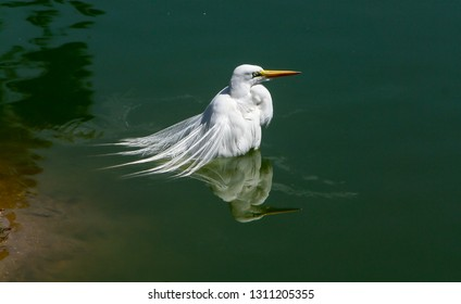 The great egret, also known as the common egret, or great white egret or great white heron is a large, widely distributed egret.