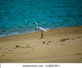 The great egret, also known as the common egret, widely distributed egret, with four subspecies found in Asia