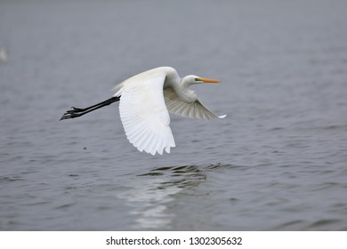 The great egret, also known as the large egret is a large, widely distributed egret, with four subspecies found in Asia, Africa, the Americas,