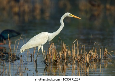 The great egret, also known as the great white heron is a large, widely distributed egret, with four subspecies found in Asia, Africa, the Americas and Southern Europe.