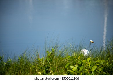 A great egret, also known as a great white heron, on a grassy shore.