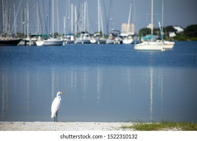 A great egret, also known as a great white heron, standing along a calm shore with sailboats in the background.