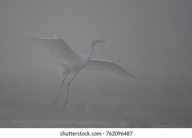 Great Egret Landing in Misty Morning