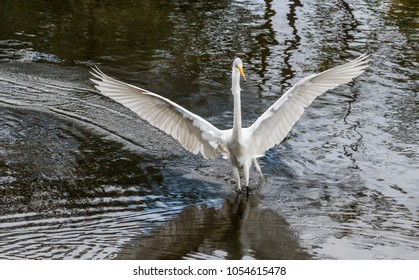Great egret landing in a pond in the wetlands
