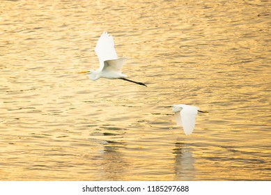 Great egret and little egret fly above the river together at sunset.