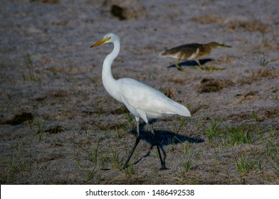 Great egret are looking for food in the form of fish and chasing their prey on the beach in a shallow place. Egretta alba - Shutterstock ID 1486492538