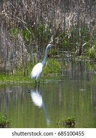 Great Egret in Minnesota