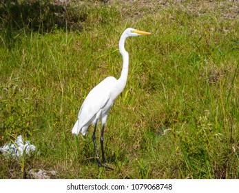 Great egret in nature