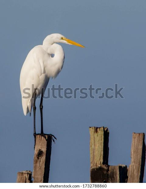 Great Egret on the Florida Gulf Coast