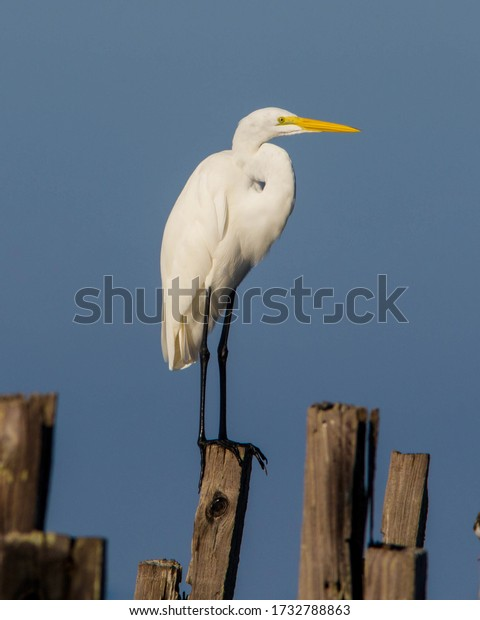 Great Egret on the Florida Gulf Coast