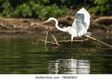 Great Egret on the Potomac River taking off