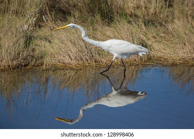 Great Egret On Prowl >> Similar Images Stock Photos Vectors Of Great Egret Mating Plumage