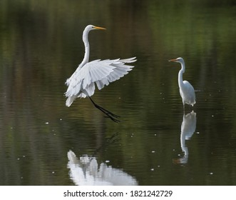 Great egret with outstretched wings making a landing in shallow water