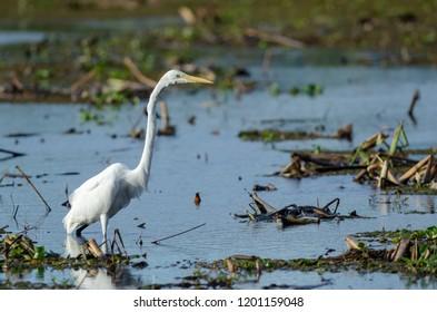 Great Egret in Palo Verde National Park, Costa Rica