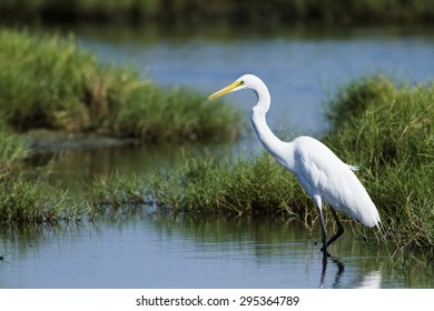 Great egret in Pottuvil, Sri Lanka ;specie Ardea alba