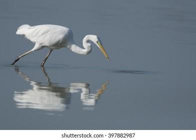Great egret reflection in the water - grote zilverreiger - ardea alba