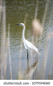 Great egret in a river, Fukuoka, Japan