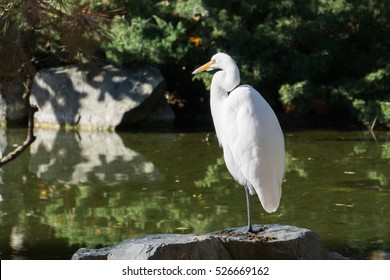 Great egret sitting on a rock on the shore of a man made pond, San Jose, California