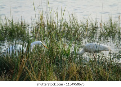 Great Egret and a Spoonbill (Platalea) birds wading through the water, feeding on insects, fish and crustaceans, birds of a feather flock together, Pilanesberg National Park South Africa