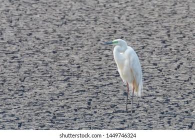 Great Egret Standing on Dry Pond (Ardea alba) Great White Egret, Common Egret