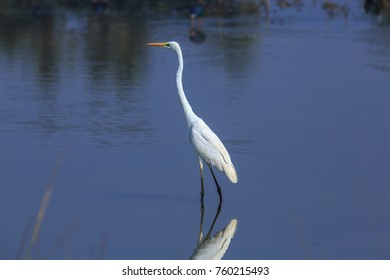 A Great Egret standing tall