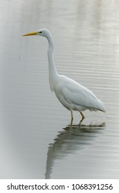 Great egret standing in the water looking for food