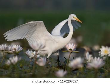 White egret flower images stock photos vectors shutterstock great egret at sunrise mightylinksfo
