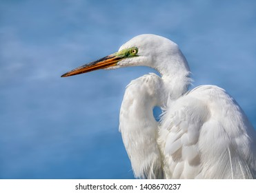 A great egret is viewed in profile against a blue soft-focused background.