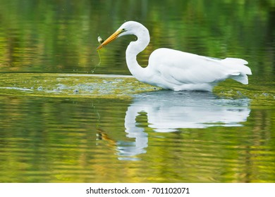 Great Egret wading in the shallow water holding a small, struggling fish.