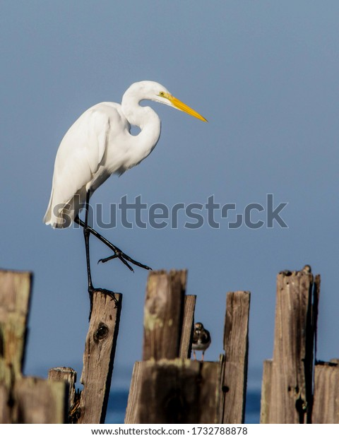 Great Egret walking amongst the pilings on the Florida Gulf Coast