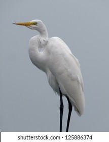 a Great Egret waterside in Florida
