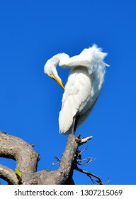 A Great Egret, Or Great White Heron (Ardea alba) preening his feathers while perched on a dead tree branch, against a clear blue sky.